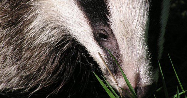 Badger Mitigation Works