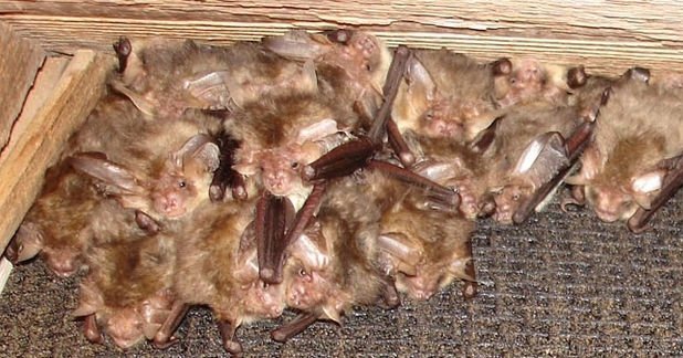 Roosting brown long-eared bat